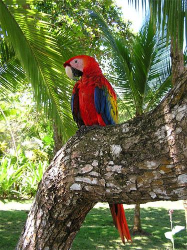 papegoja costa rica